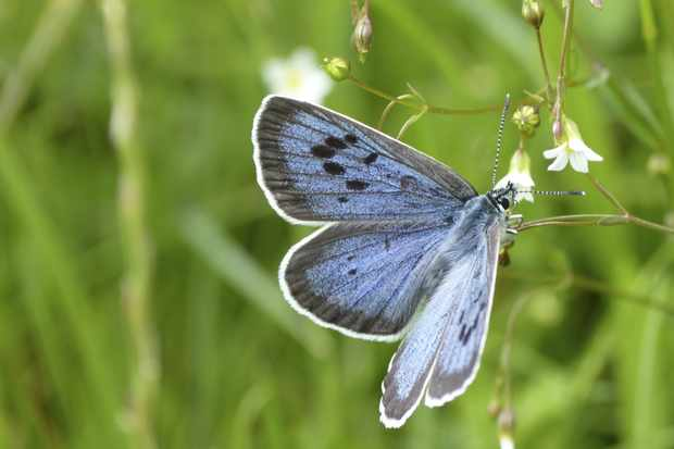 It was a great year for the large blue butterfly. © Matthew Oates/National Trust