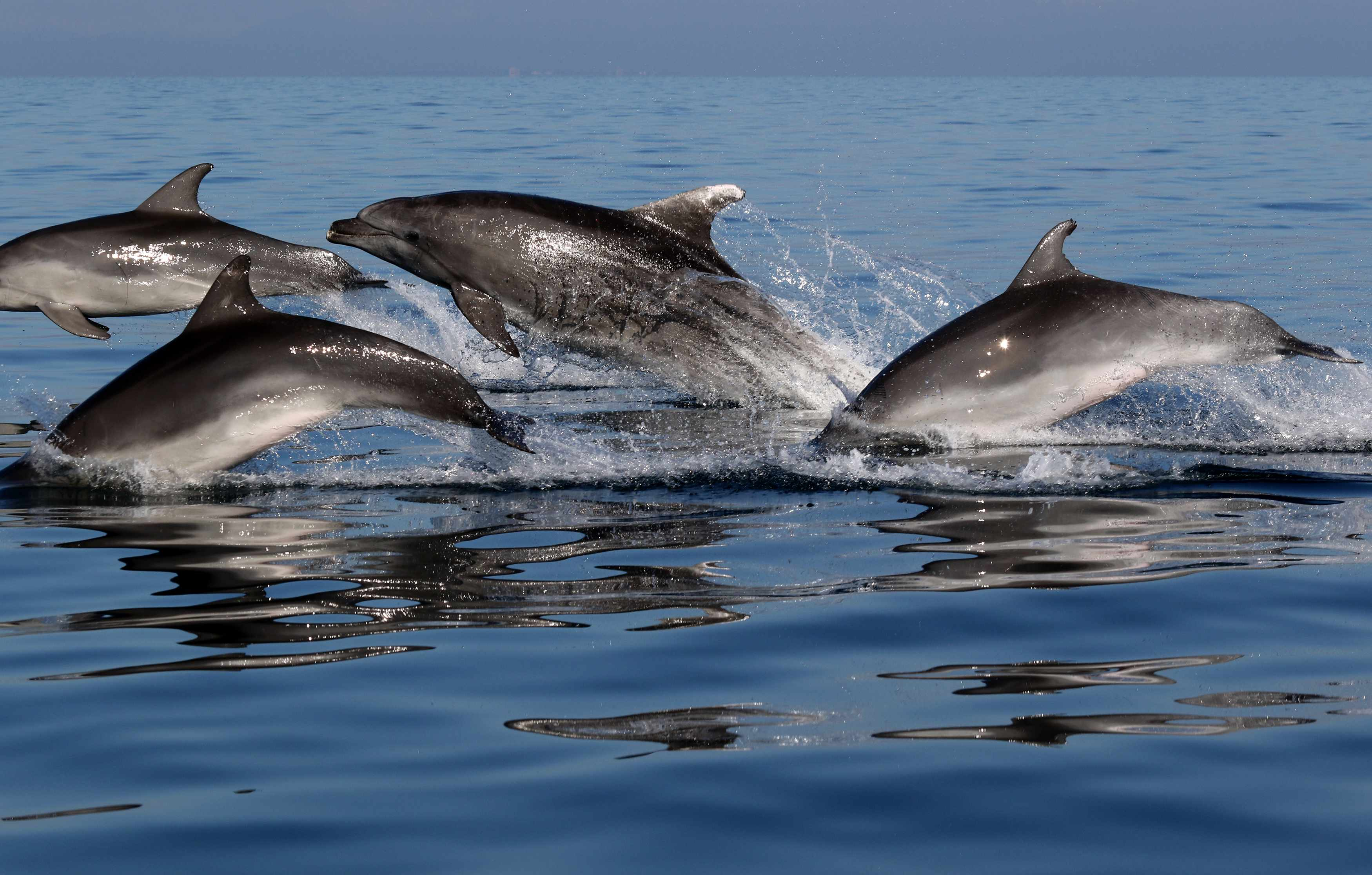 Morigenos dolphins. © Ana Hace