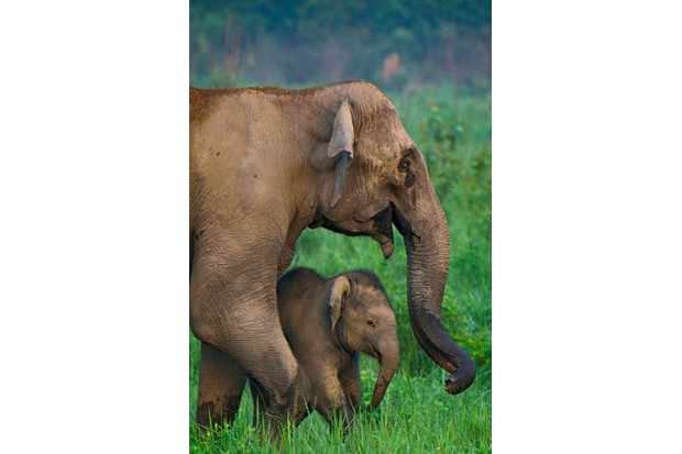 This elephant mother was very protective of its small calf and was keeping the calf very close to her. It was heart warming to see the baby elephants playing while following the mothers. © Rathika Ramasamy
