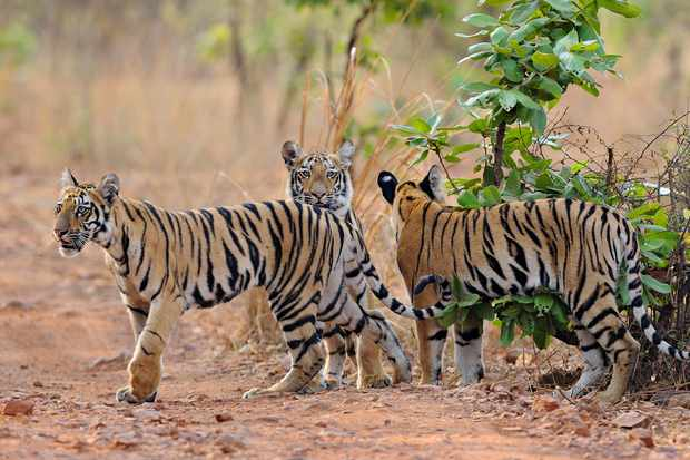 It was my lucky day when I managed to shoot three tiger cubs whilst on a morning safari in Tadoba National park. I spent half an hour watching them playing on a mud track, it was pure bliss. © Rathika Ramasamy