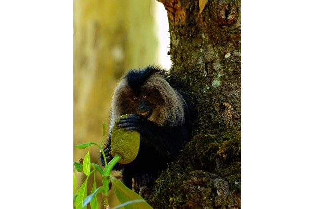 I was following a group of lion-tailed macaques which are rainforest dwellers and love jackfruit. As soon as this one got a jackfruit, its eyes seemed to glitter with a happy expression. © Rathika Ramasamy