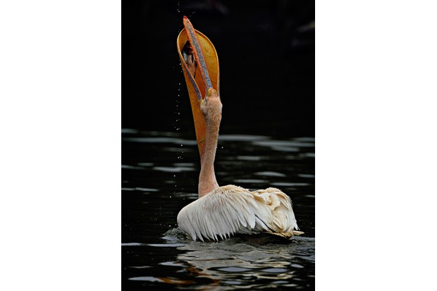 Back profile of a great white pelican which was fishing. Fish is the staple diet for these birds. They have a long beak and the stretchy pouch under it that helps them to scoop fish easily. © Rathika Ramasamy