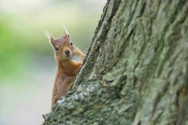 Red squirrel on Brownsea Island. © Chris Lacey/National Trust