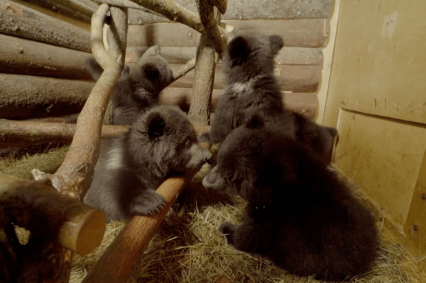 Five of the six cubs. © BBC