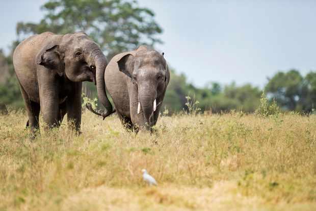 Asian elephants © Josh Raper
