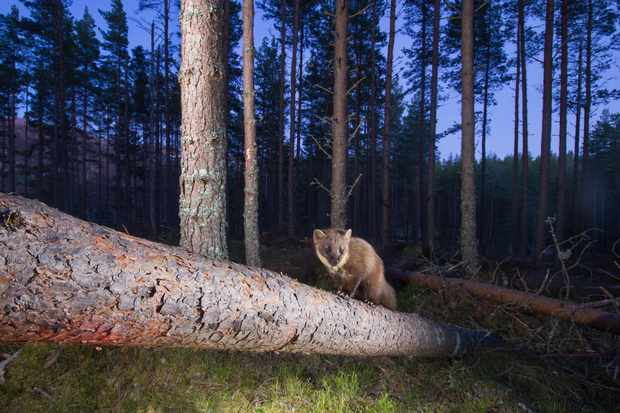Pine marten in a pine woodland at dusk, photographed in Glenfeshie, Scotland. © Pete Cairns/Scotland: The Big Picture