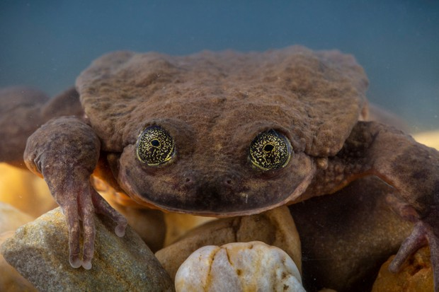 The adult female frog discovered on the expedition, now named Juliet. © Robin Moore/Global Wildlife Conservation