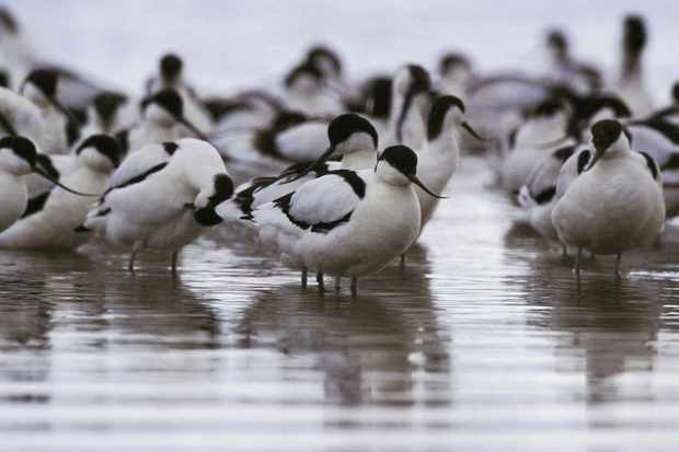 Avocets. © Andy Hay/RSPB Images