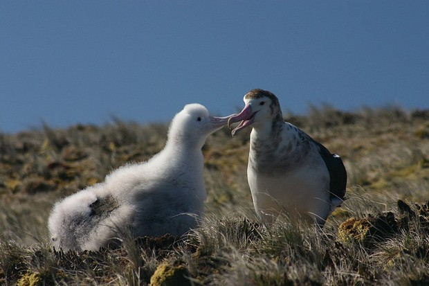 An adult Amsterdam albatross feeding its chick. © Vincent Legendre/Wikimedia/Creative Commons
