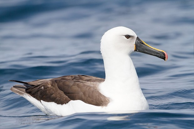 An Indian yellow-nosed albatross. © JJ Harrison/Wikimedia/Creative Commons