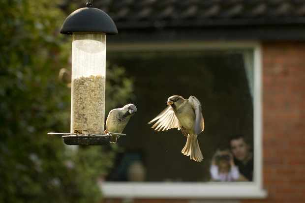 House sparrows on seed feeder. © Ben Hall/RSPB Images