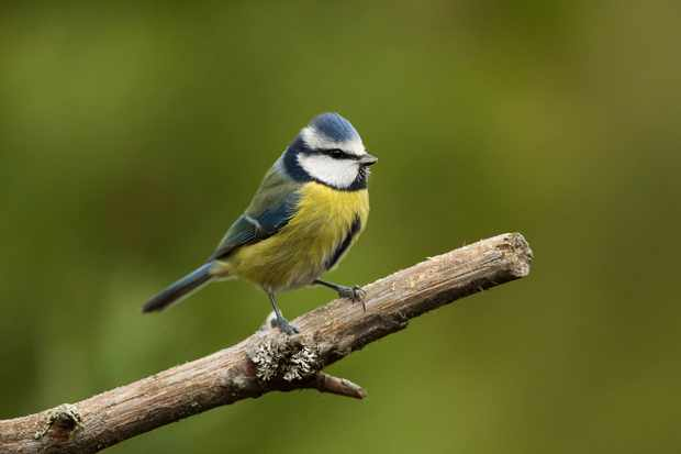 Blue tit perched on branch. © Louise Greenhorn/RSPB Images