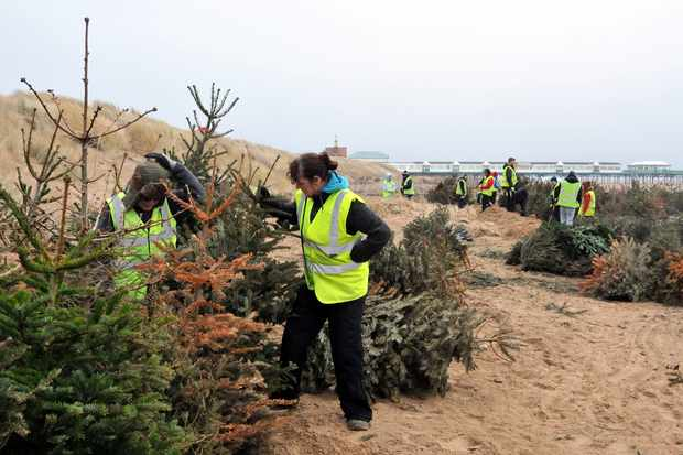 Planting Christmas trees in the sand dunes. © Brian Jones