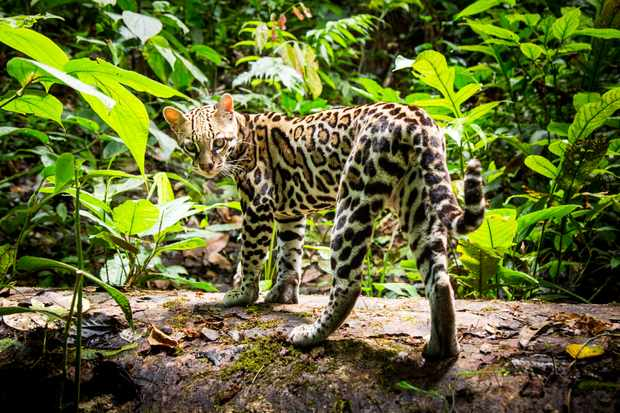 Ocelots are one of the most common cats in central America, but because of their remarkable camouflage, they are rarely seen.