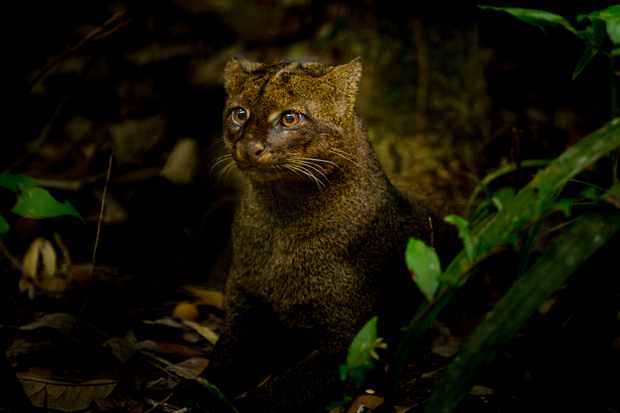 Jaguarundi are also known as the otter cat because of their physical similarity to the aquatic mammals. This small cat is found from Texas to Argentina, and it particularly thrives in dense rainforests where it must avoid the much bigger jaguar that is known to be one of their predators.