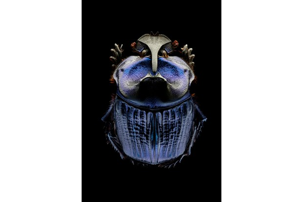 Amazonian purple warrior scarab. A large and impressive scarab beetle found widely across the Amazon basin. © Levon Biss