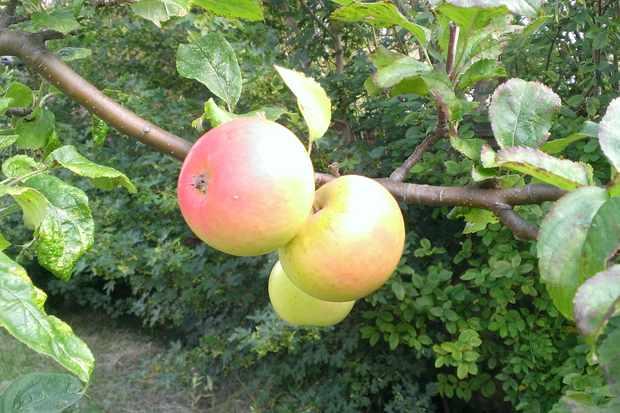 Apples. © Annette Traverse-Healey