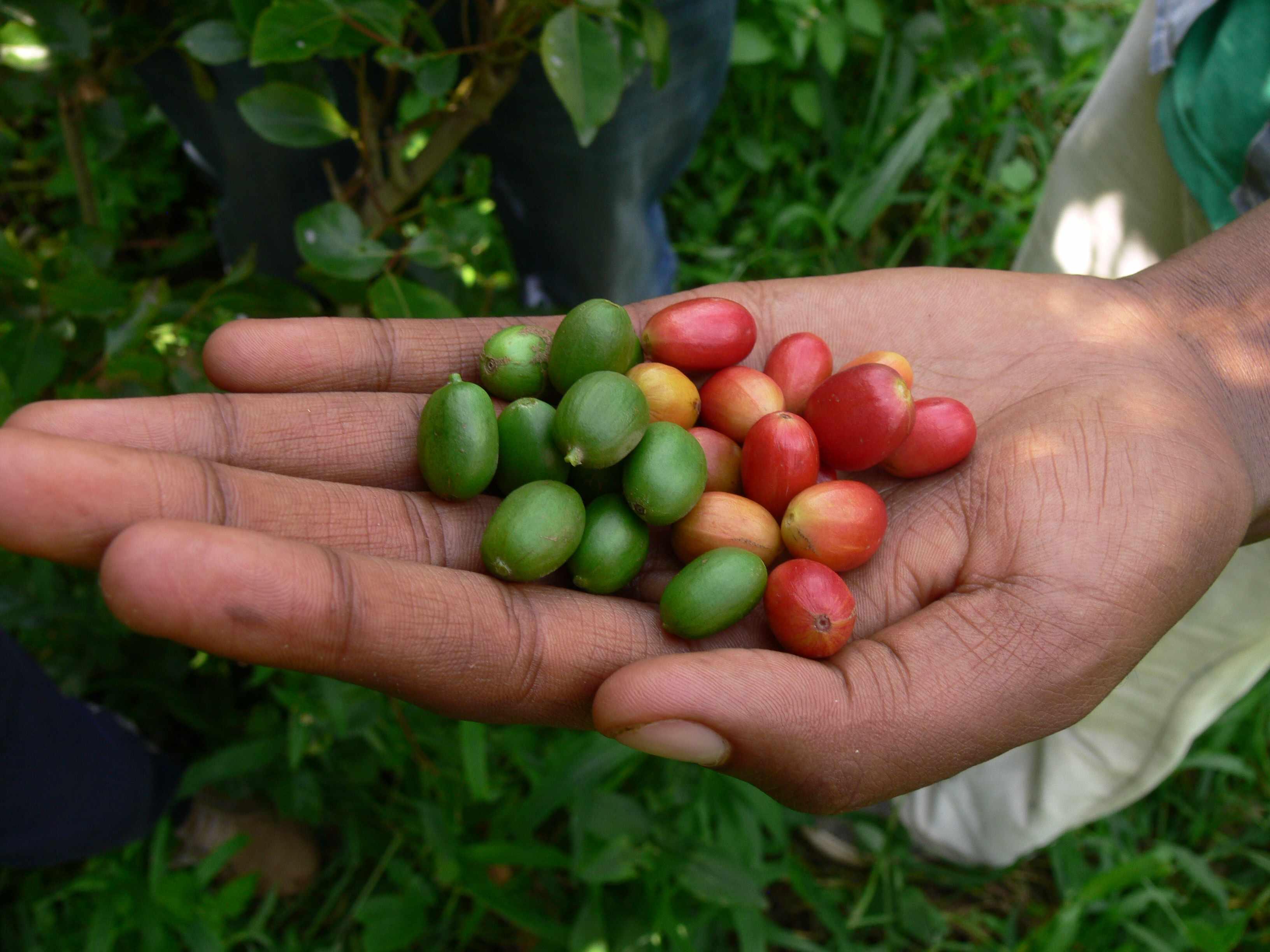 Arabica coffee fruits, SW Ethiopia. © Aaron Davis/RBG Kew