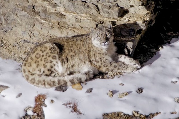 Snow leopards live in the Indian Himalayas, the world's highest living cat. Known as the 'ghost of the mountain' they roam huge territories, where food is scarce, and finding a mate is even harder.