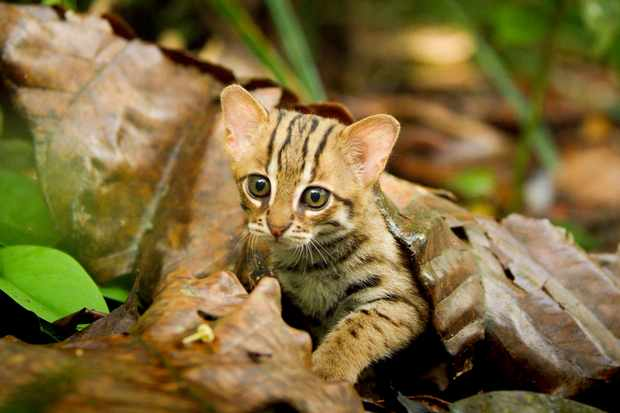 Rusty spotted cats live in Sri Lanka. This miniature predator, is the world's smallest cat… weighing little more than a kilo, 200 times lighter than a lion!