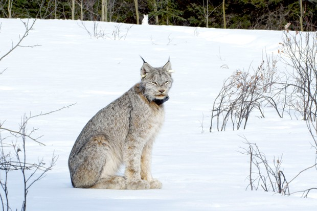 Canada lynx are the most northerly cats. Thick fur, and huge snowshoe-like feet help them to deal with deep snow and arctic conditions, and enable them to keep up with their equally adept prey - the snowshoe hare.