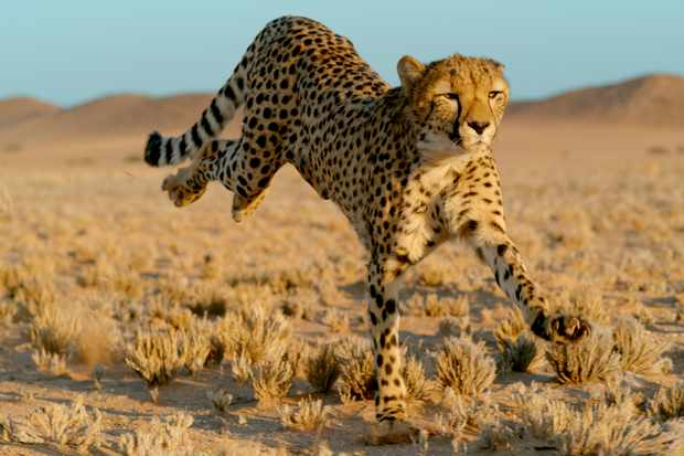 Cheetahs are not just the fastest cats… they're the fastest animals on land! They have been recorded running at speeds as fast as 96 kmph. © BBC