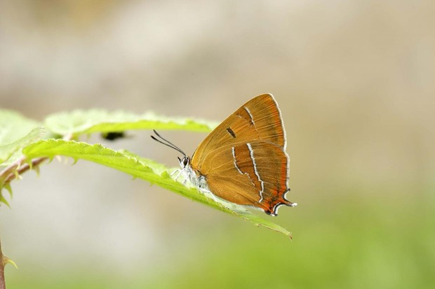 Brown hairstreak butterfly. © Iain H Leach