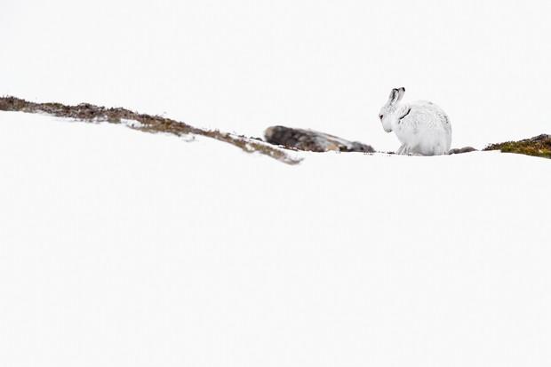 Mountain hare in the snow. © Craig Jones Wildlife Photography