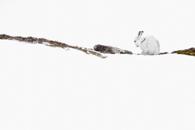 Mountain hare in the snow. © Craig Jones Wildlife Photography