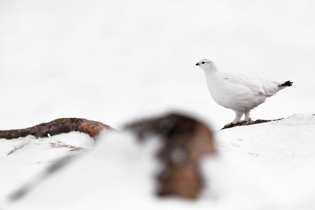 Ptarmigan in the snow. © Craig Jones Wildlife Photographer