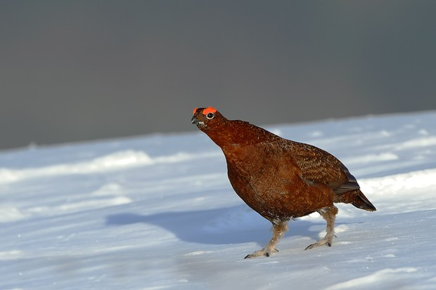 Red grouse in the snow. © Craig Jones Wildlife Photography