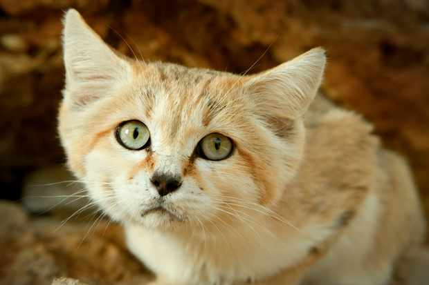 Sand cats are the only cat adapted primarily to desert life. They live in the deserts of North Africa, the Middle East and Central Asia. They are rarely seen and only recently has a scientific study captured the first images of sand cat kittens in the wild. © BBC