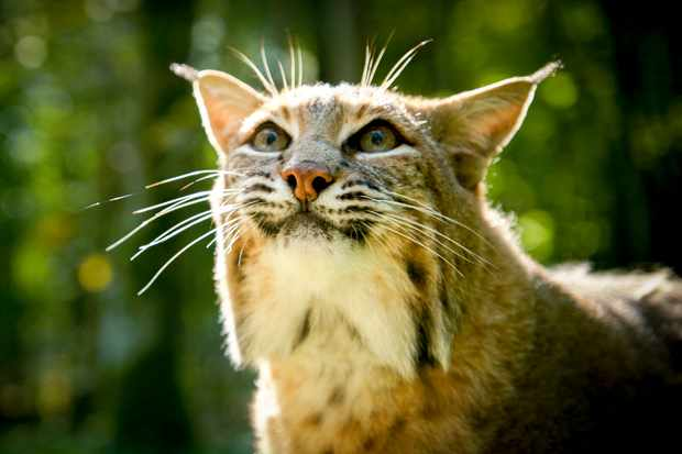 Bobcats are the most widespread cat in the United States, and are named for their stunted tail. They usually hunt small mammals in the forest. © BBC