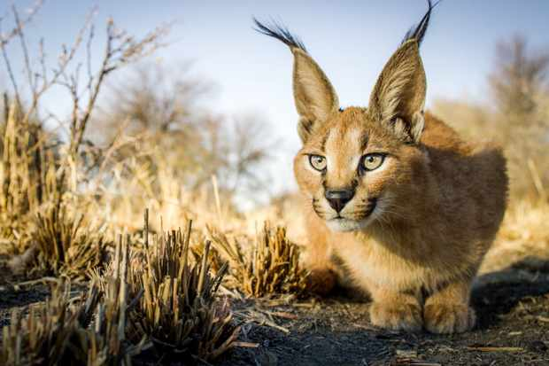 Caracals are found across much of southern and central Africa. They have long powerful legs that enable them to leap as high as 10 feet, and hunt birds on the wing. © BBC