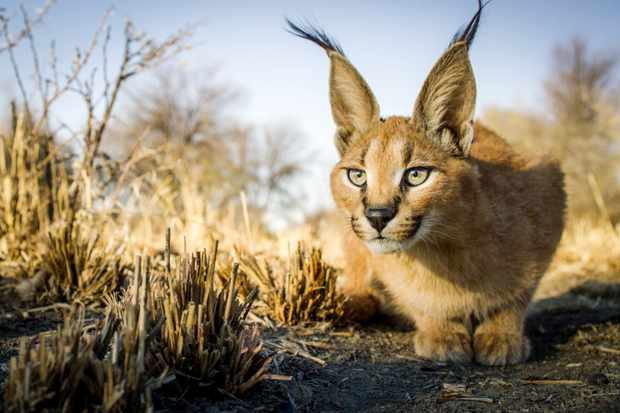 Photo Gallery Cats Of The World Discover Wildlife