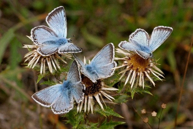 Chalk hill blues butterflies. © Richard Revels/The Wildlife Trust BCN
