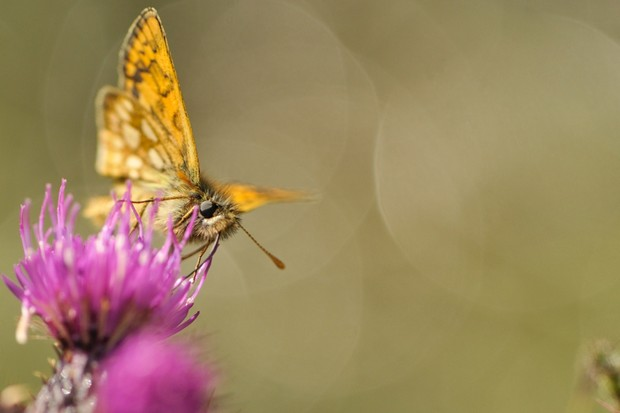 Chequered skipper butterfly. © Fergus Gill/2020Vision