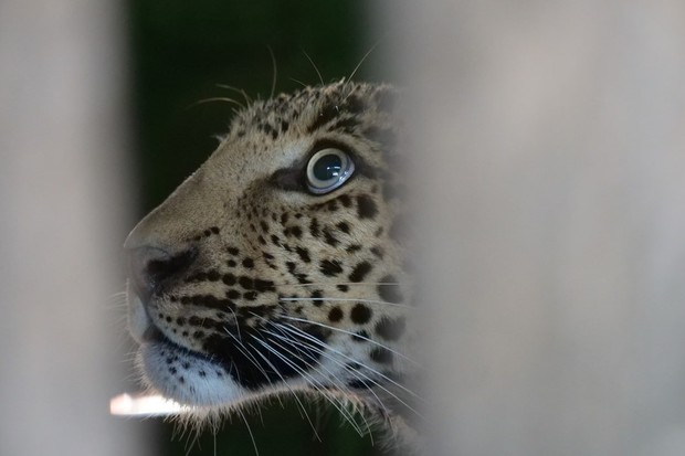 Close up of the leopard in the cage. © Wildlife SOS, India