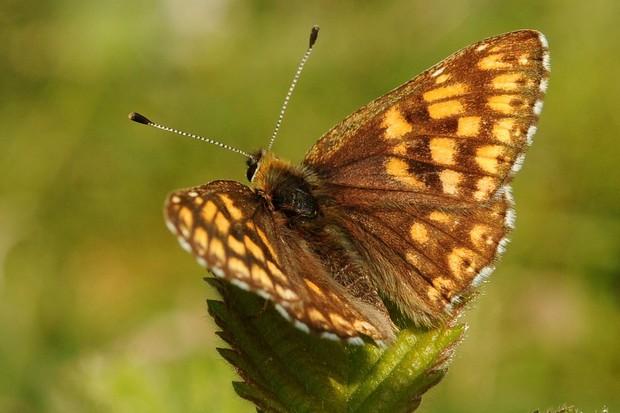 Duke of Burgundy butterfly. © Brian Eversham