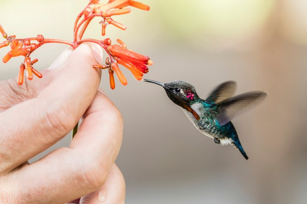 A wild adult male bee hummingbird (Mellisuga helenae), attracted to handheld flower