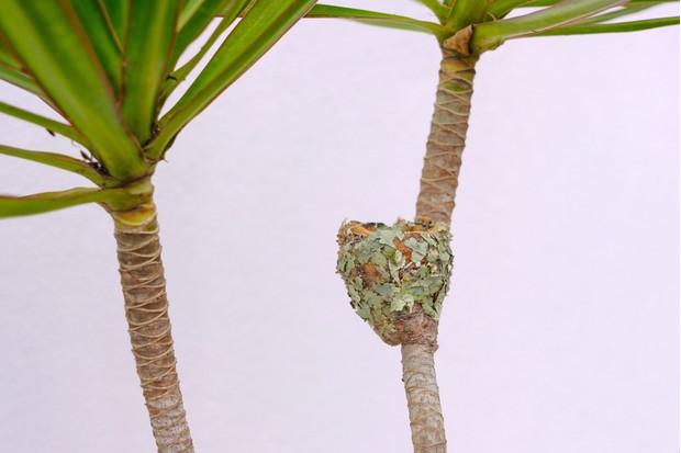 Nest of a female glittering-bellied emerald (Chlorostilbon lucidus) in Brazil