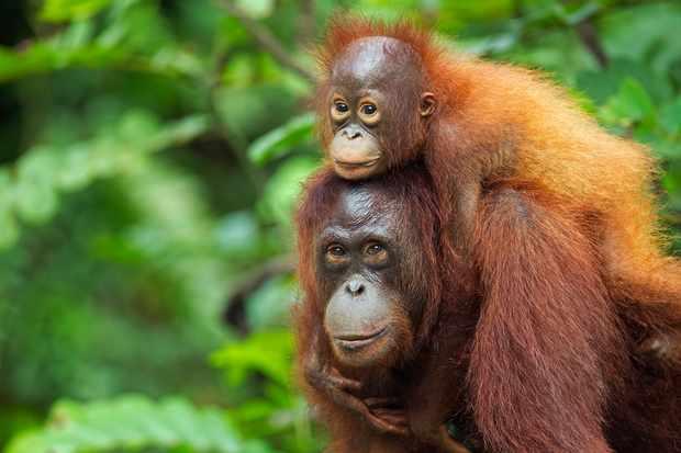 Bornean orangutan female carrying her son. © Anup Shah/Getty
