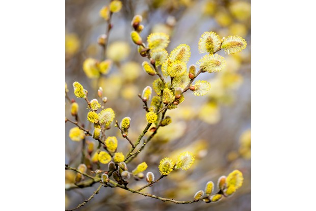 Male catkins on a branch. © mikroman6/Getty.