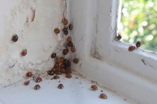 Harlequin ladybird exiting their hibernation site. © Ian West/Getty