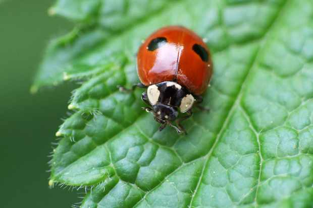 Harlequin ladybirds eat and outcompete two-spot ladybirds (pictured). © Getty