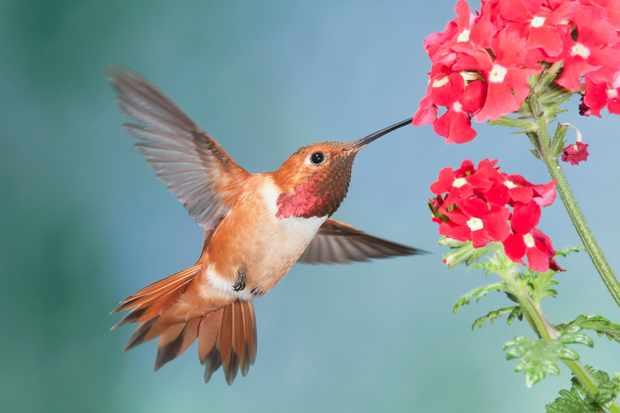 Rufous hummingbird (Selasphorus rufous) feeding