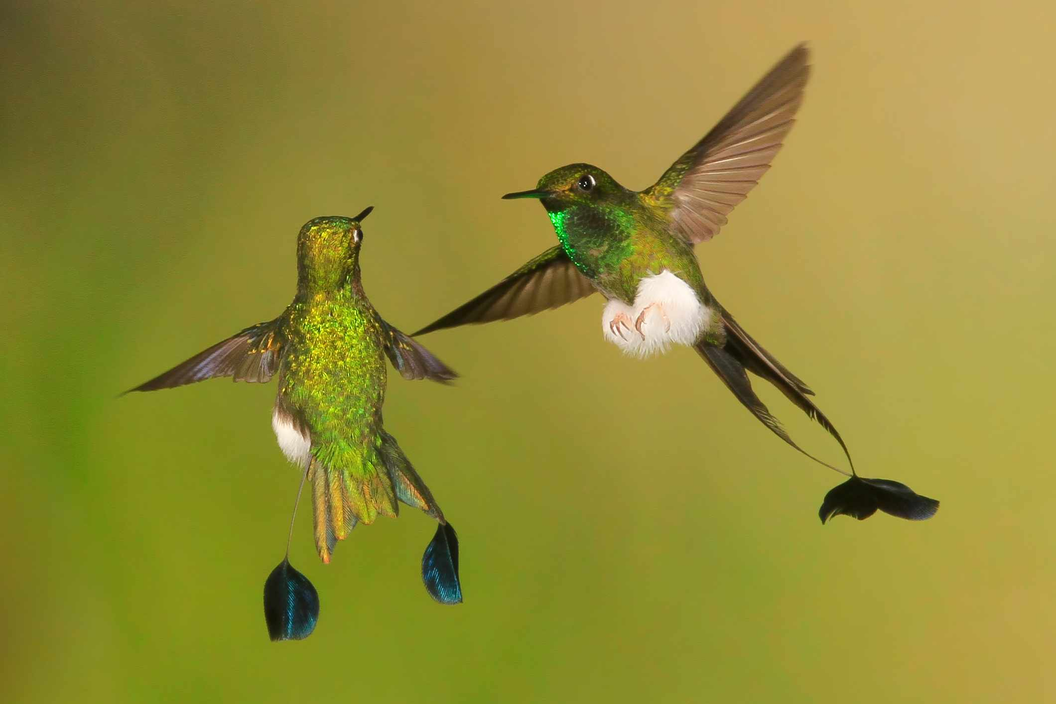 Pair of booted racket-tail hummingbirds (Ocreatus underwoodii) in territorial display flight. © Mark J. Thomas/Getty