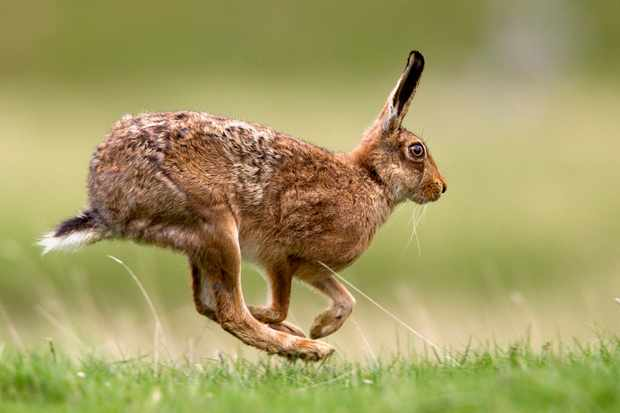 European brown hare © Chris Upson/Getty