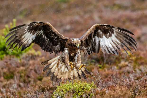 A juvenile golden eagle in the Cairngorms National Park. © Javier Fernández Sánchez