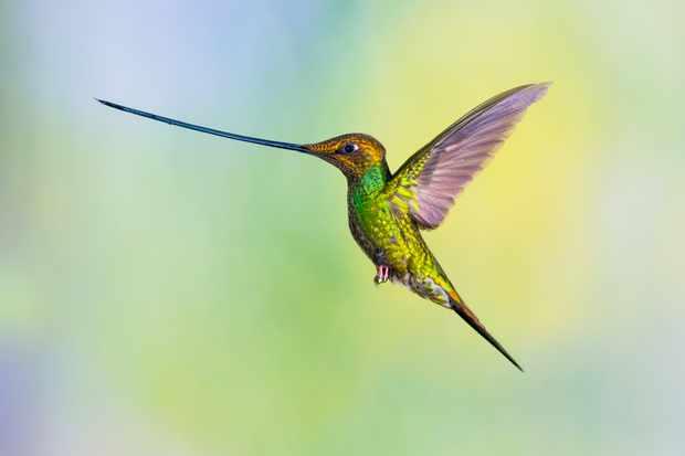 A flying male sword-billed hummingbird